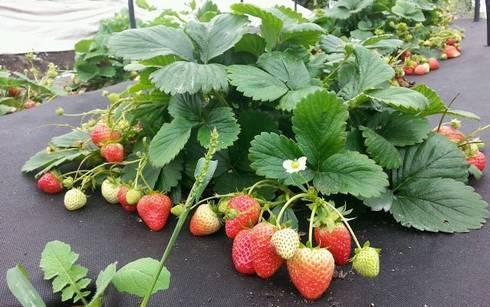 Как выращивать клубнику в теплице круглый год: пошаговые инструкции