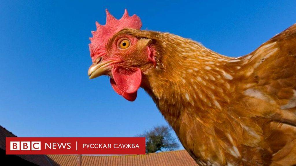 По каким причинам куры клюют друг у друга перья, что делать и чего не хватает птицам