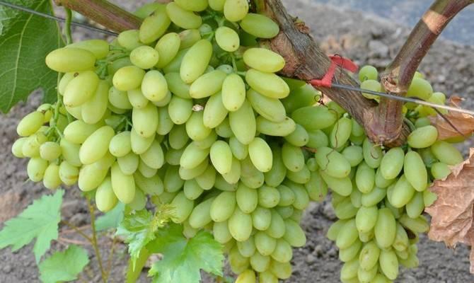 Виноград юпитер: описание сорта, фото