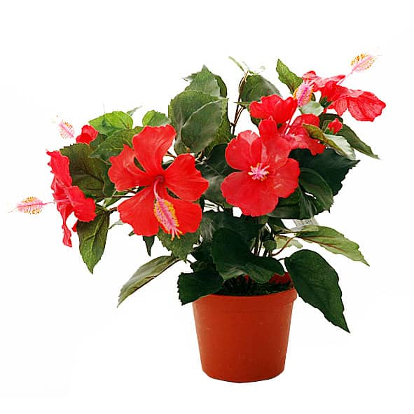 Обзор видов и сортов гибискуса. как выращивать китайскую розу и ухаживать за растением?