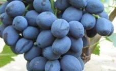 Виноград илья: описание сорта и фото, селекция и посадка, борьба с вредителями