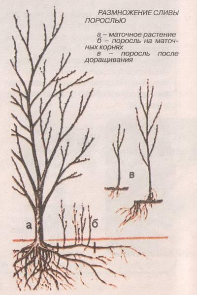 Способы размножения сливы в домашних условиях летом, осенью и весной