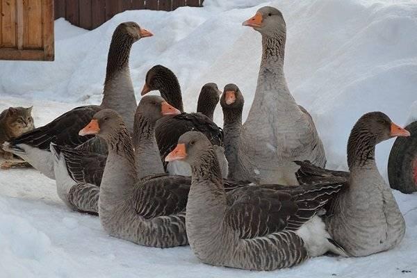 Крупные породы гусей