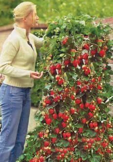 Выращивание вьющейся клубники