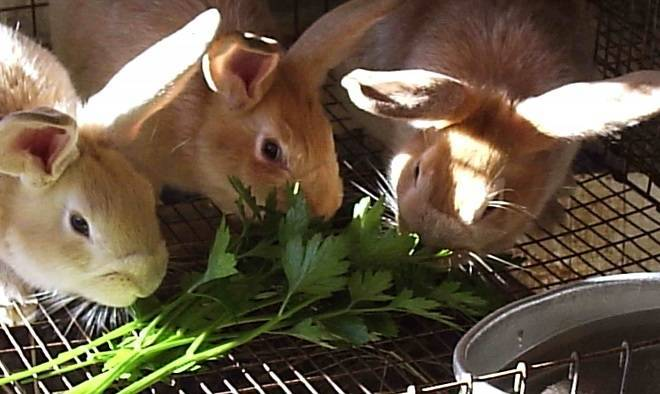 Кормление кроликов зерном