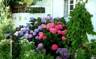 Цветущие кустарники: гортензия метельчатая