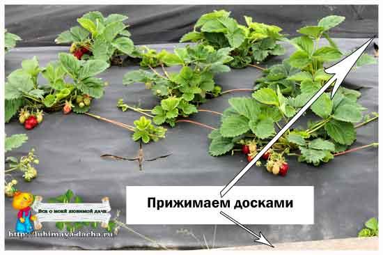 Клубника: посадка (весной и осенью) в открытый грунт. уход за клубникой