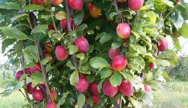 Алыча - сорта для средней полосы и подмосковья: выращивание, посадка и уход