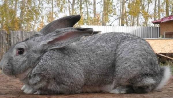 Кролики серый великан: разведение, содержание и рацион
