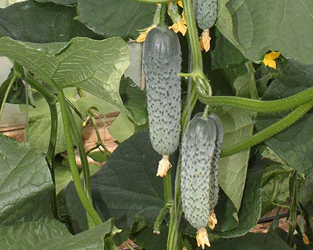 Об огурце Каролина: описание сорта, характеристики, технология выращивания
