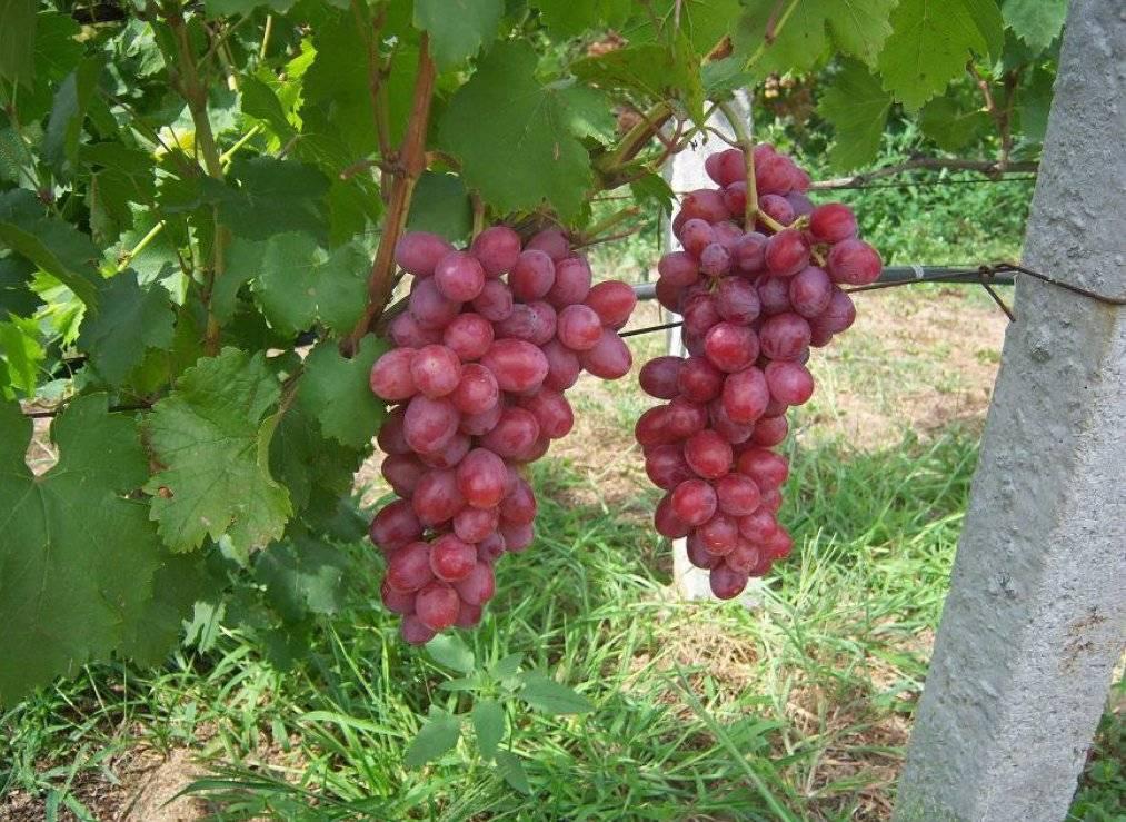 Ранние сорта винограда для разных регионов: как правильно сделать выбор