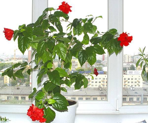 Чем подкормить гибискус комнатный? особенности ухода за китайской розой в домашних условиях