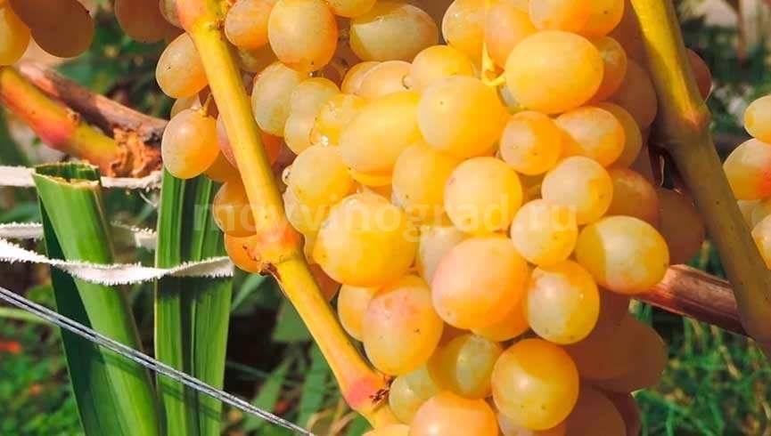 Описание сорта винограда тасон