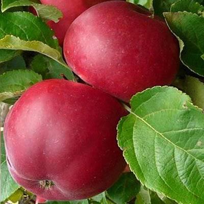 Яблоня веньяминовская: описание сорта и его фото, характеристики и особенности выращивания