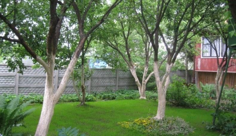 Белить или не белить? нужно ли весной белить деревья?