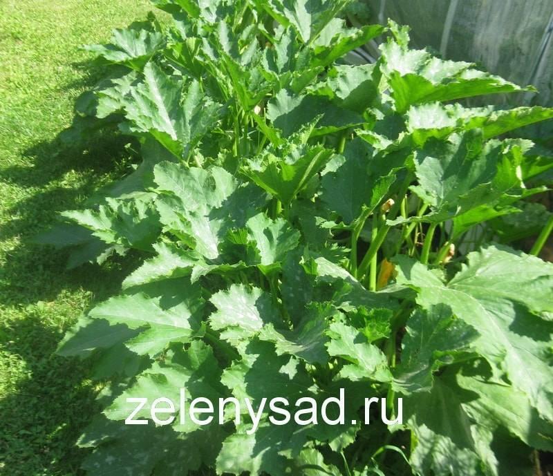 Чем подкормить кабачки в открытом грунте