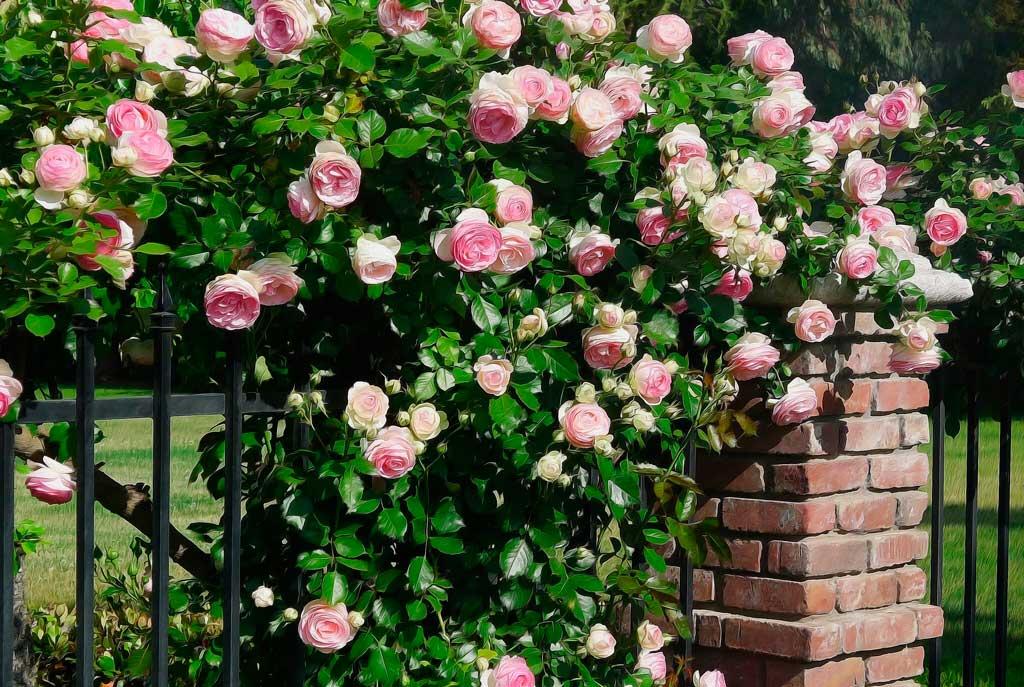 Роскошное оформление сада: сорта роз и их применение в ландшафтном дизайне