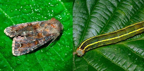 Система защиты гороха препаратами ооо «листерра» - вредителей прочь с поля!