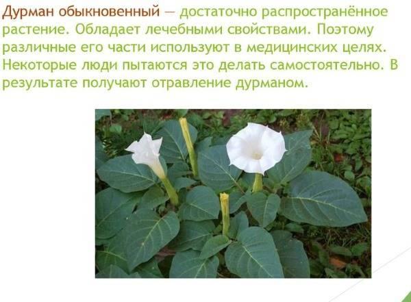 Дурман растение убийца. дурман-трава: описание и фото, польза и вред. противопоказания и меры предосторожности