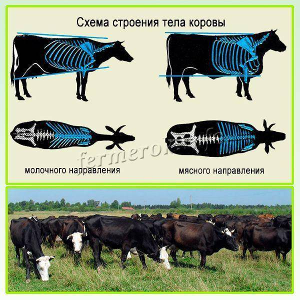 Бурёнки «ярославской» породы — одни из лучших представителей молочного направления
