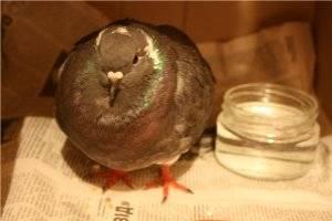 Что делать, если у попугая помет прилипает к попе?