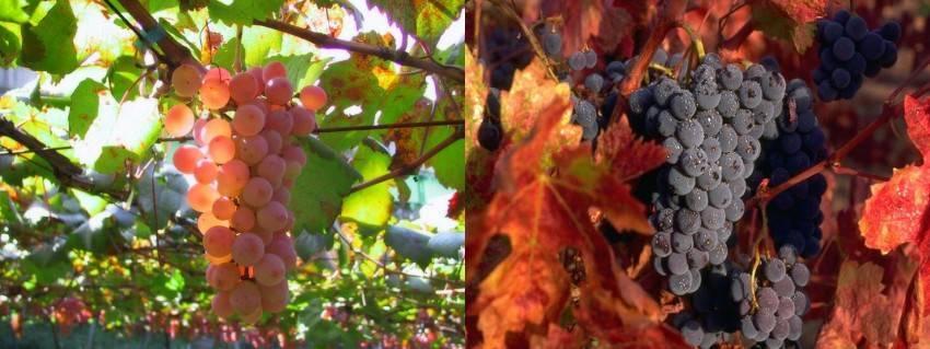 На какой год виноград плодоносит. на какой год начинает плодоносить виноград и от чего это зависит