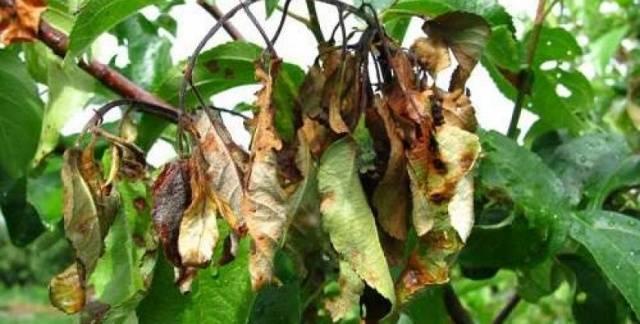 Чем и как обработать абрикос весной от болезней и вредителей