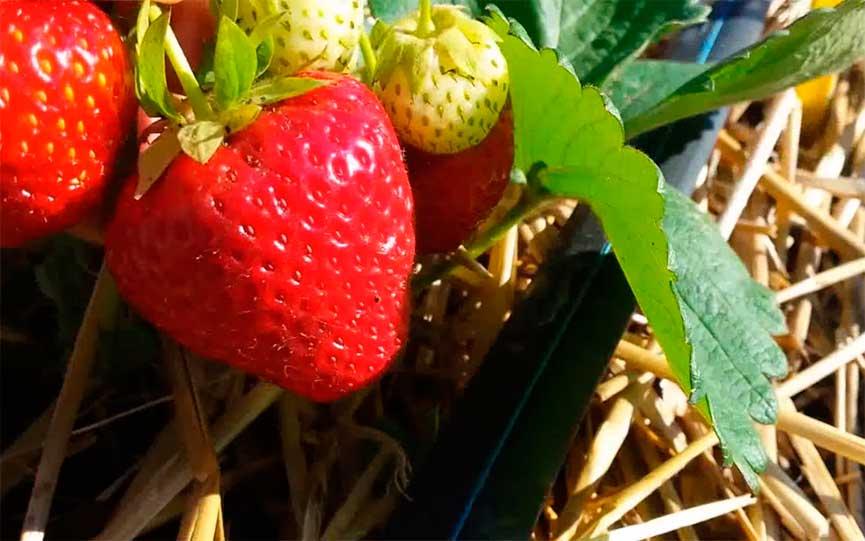 Клубника кимберли: описание сорта, посадка, выращивание и уход