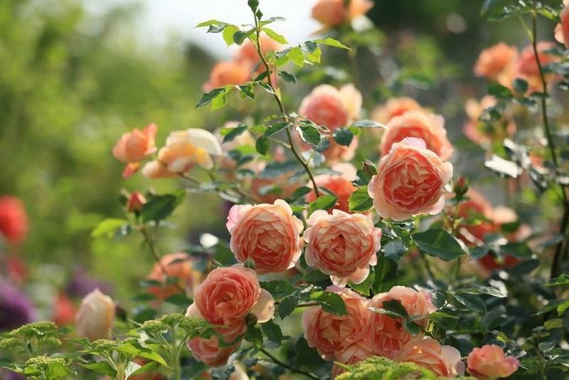 Обрезка роз весной – видео и схемы