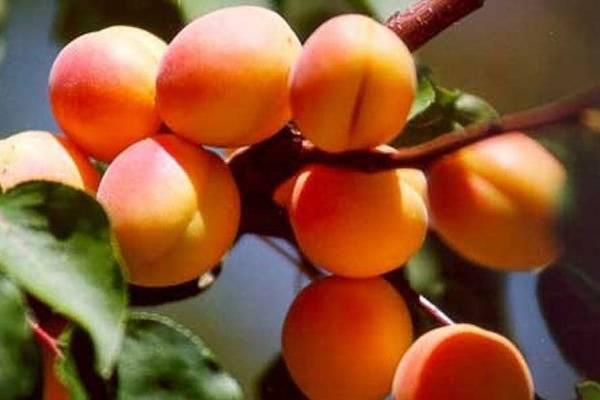 Выращивание абрикосов в средней полосе