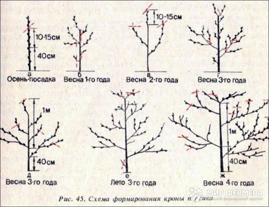 Пошаговая инструкция весенней обрезки персикового дерева