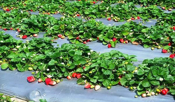 Все о выращивании клубники в открытом грунте и повышении урожайности