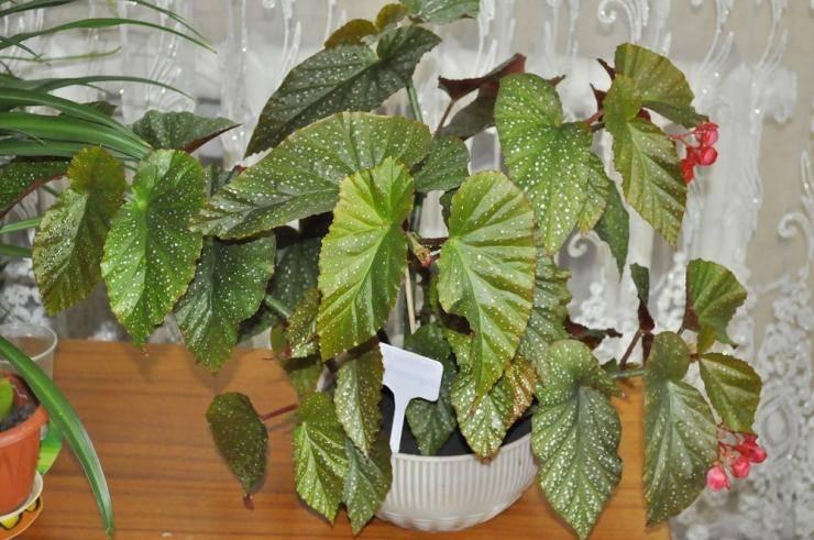 Виды и сорта декоративно-лиственных бегоний