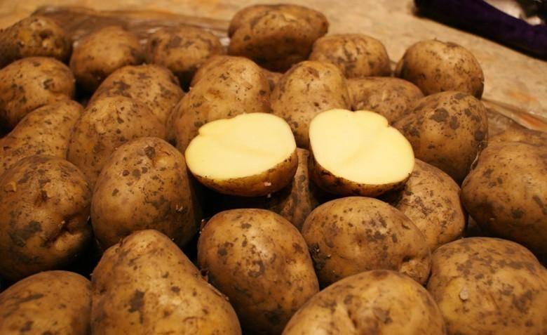 Сорт картошки ривьера: описание, характеристики, как вырастить в домашних условиях