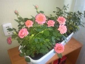 Когда и как правильно пересаживать комнатные цветы