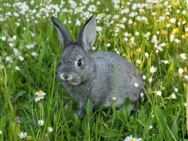 Кролики советская шиншилла: описание породы, фото, отзывы, разведение