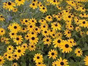 Многолетние цветы для сибири. самые неприхотливые садовые цветы – украшаем дачный участок в сибири