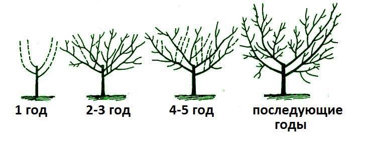Обрезка вишни своими руками: схема