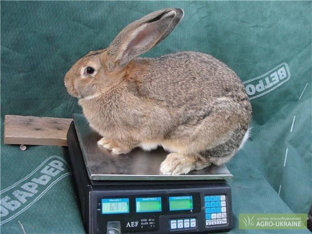 Содержание и разведение кроликов породы фландр
