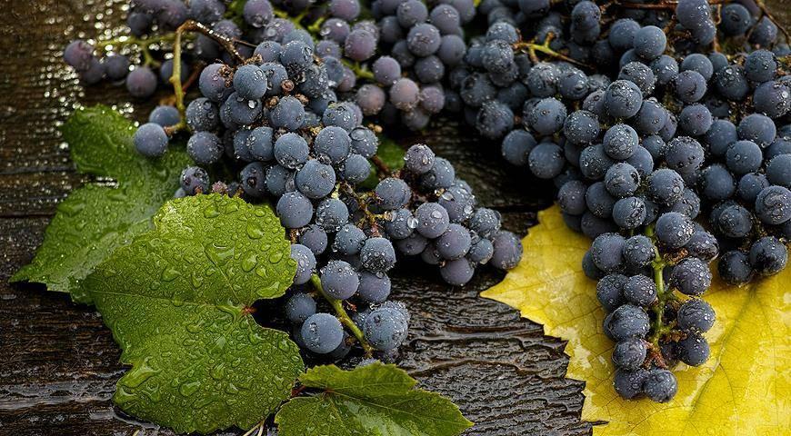 Как и когда поливать виноград: особенности полива, методы полива, можно ли поливать во время созревания ягод