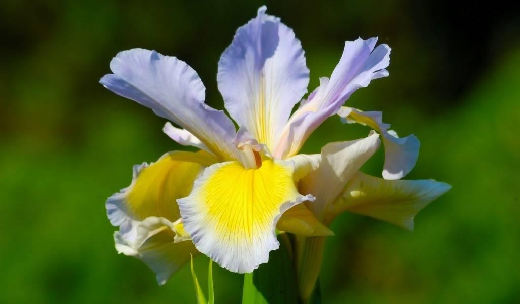 Преимущества летней пересадки ирисов: почему лучше делить их после цветения