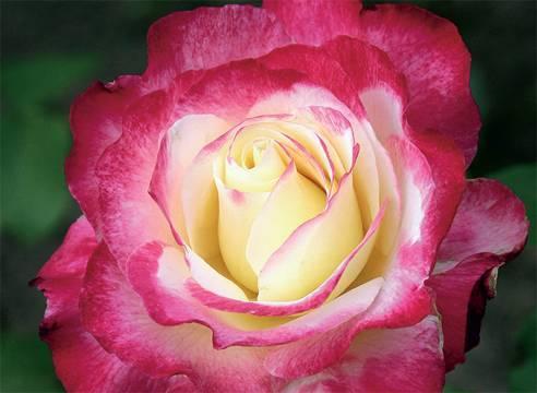 О двухцветных розах: описание и характеристики разновидностей и сортов
