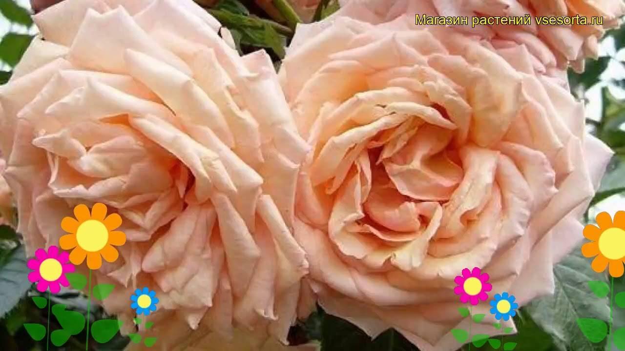 О розе барок (barock): описание и характеристики сорта плетистой розы