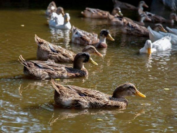 Утки индийский бегун (бегунок): особенности разведения в домашних условиях