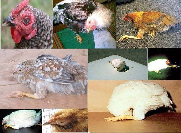 Все о болезни марека у курочек