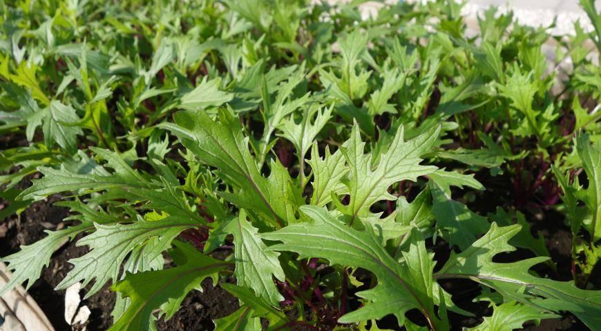 Выращивание и уход за савойской капустой в открытом грунте