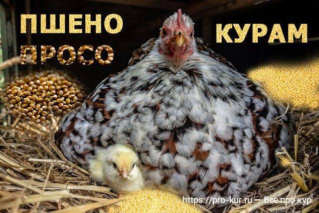 В каком виде давать крапиву курице несушке (можно ли кормить, заготовка на зиму)