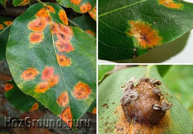 Листья у груши как индикатор болезней: учимся определять и лечить недуги