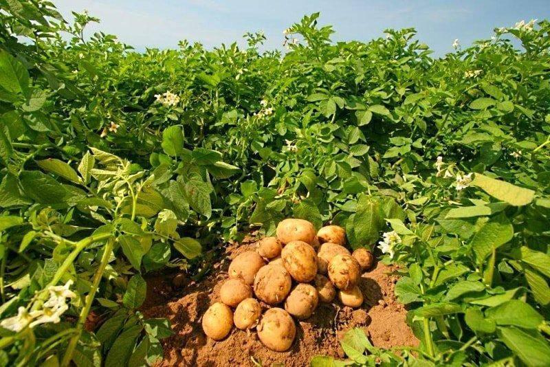 Какое удобрение для картофеля лучше при посадке