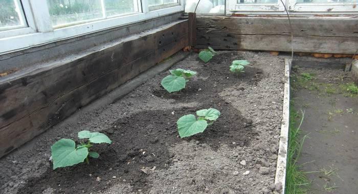 Как подкармливать огурцы в теплице: какими удобрениями и когда их использовать